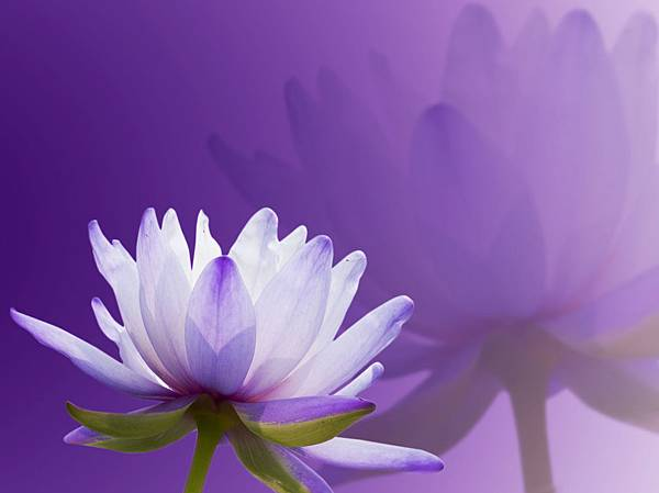 2-3 purple-lotus-5.jpg