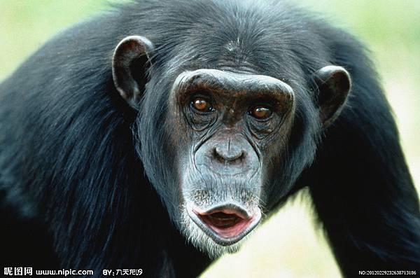 0223-黑猩猩01.jpg