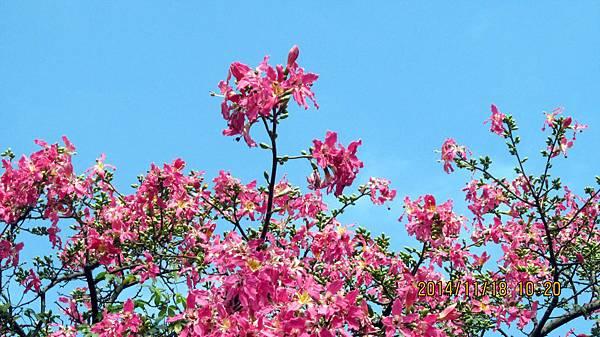 1031118037楊梅雅聞-美人樹.JPG
