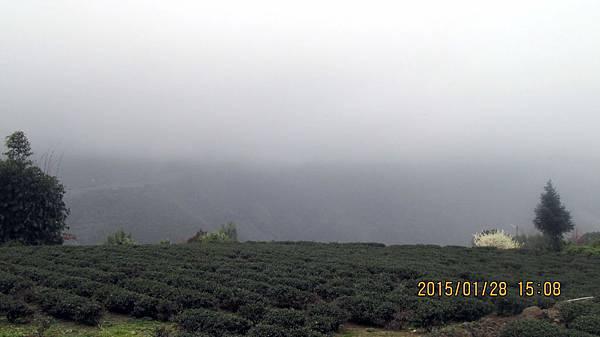 草坪頭-茶園 (6).JPG