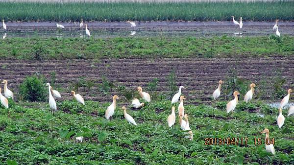 1020417171黃頭鷺在員山內城.JPG