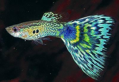 孔雀魚 (1).jpg