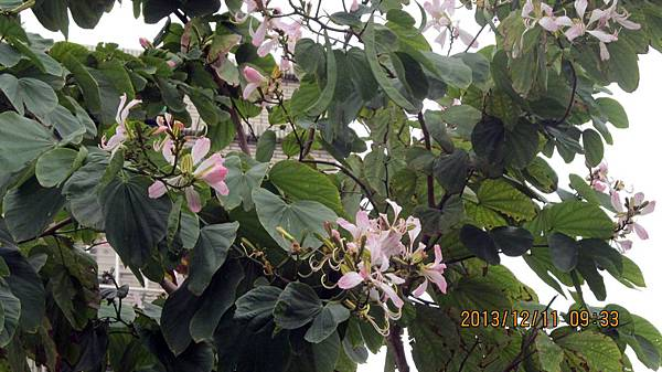 1021211003春光公園-洋紫荊.JPG