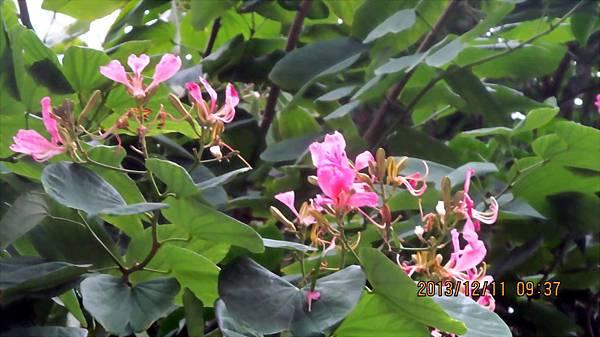1021211014春光公園-洋紫荊.JPG