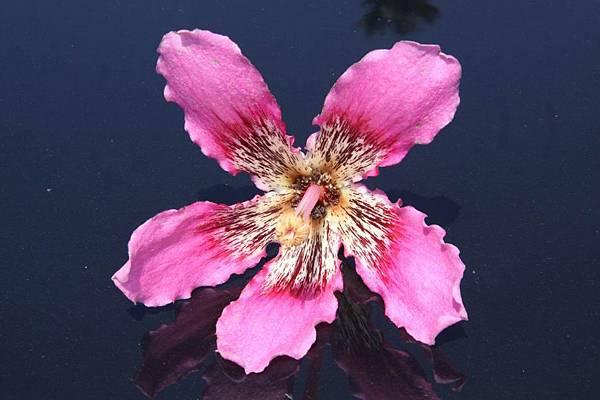 美人樹-花15.jpg