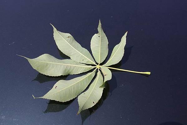 美人樹-葉背3.jpg
