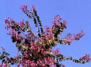 艷紫荊 (2).jpg