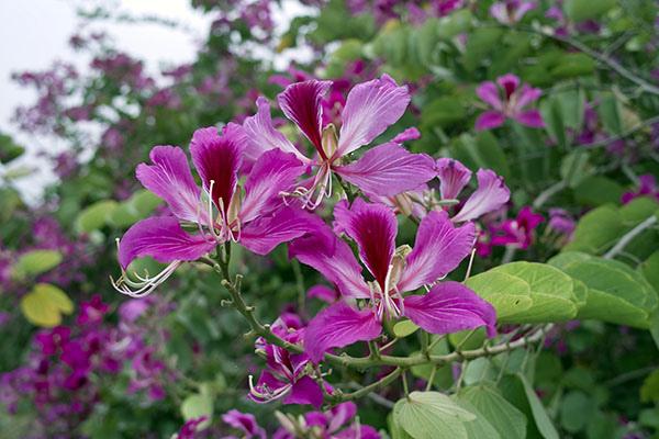 艷紫荊.jpg