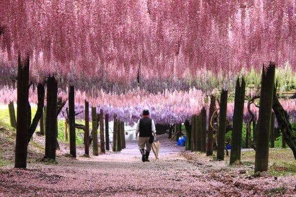 1040417100日本福岡北九州市河內藤園 (12).jpg