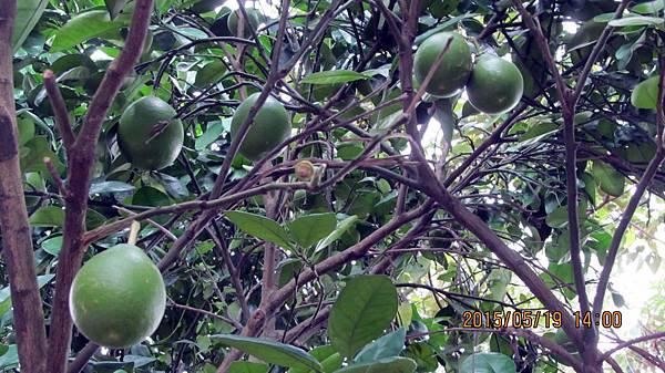 1040519001虎山-柚子.JPG