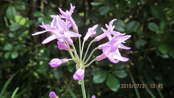 1040731057植物園-紫嬌花.JPG