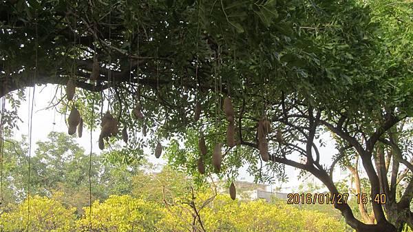 1050127108嘉義世賢國小-蠟腸樹