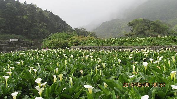 1050409067竹子湖 -海芋