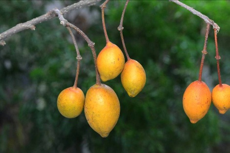 台灣魚木成熟的果實呈現亮眼的橘黃色2012.11.04攝.jpg