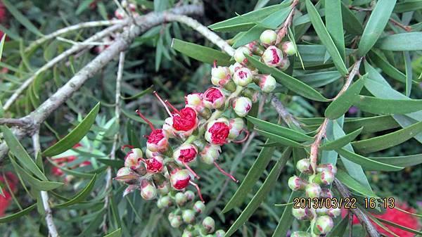 紅千層(紅瓶子刷樹)的花苞