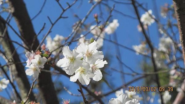 1050303012楓樹湖-白吉野