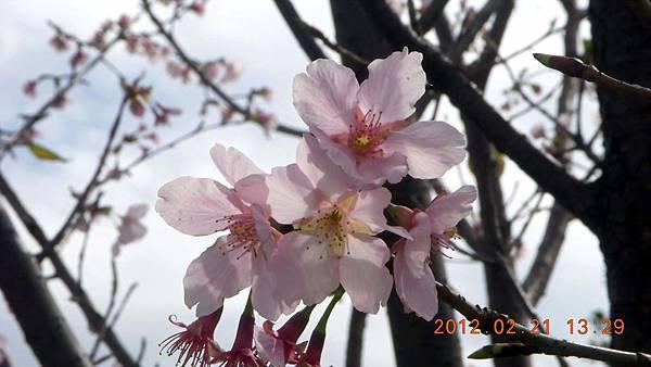 1010221063中正紀念堂-昭和櫻