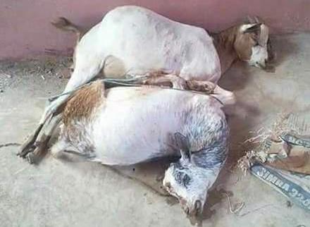 遭男子木鳥歐連續性侵2小時,羊群精疲力盡慘死
