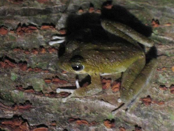 日本樹蛙  .....超小ㄟ...跟小拇指一樣長