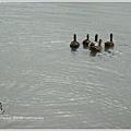 鵝鴨6---背影
