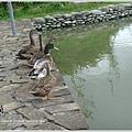 鵝鴨7---躊躇