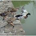 鵝鴨8---展翅