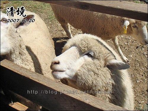 最上相的羊咩咩