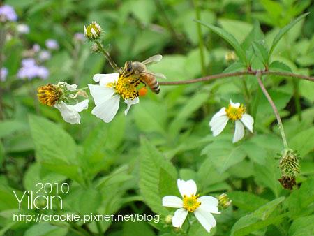 蜜蜂採花蜜