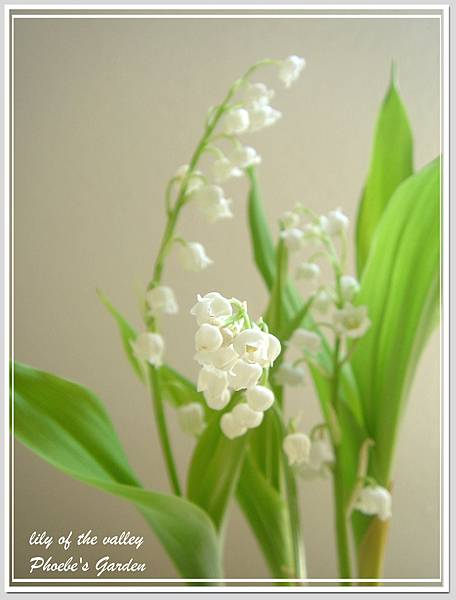 lily of the valley 4.jpg