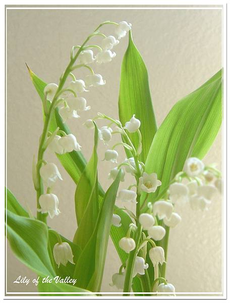 lily of the valley 6.jpg