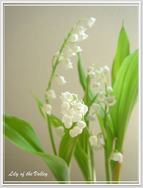 lily of the valley 5.jpg