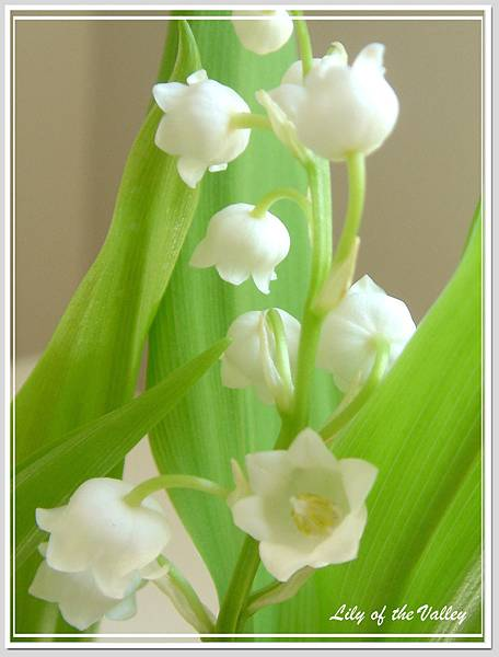 lily of the valley 8.jpg