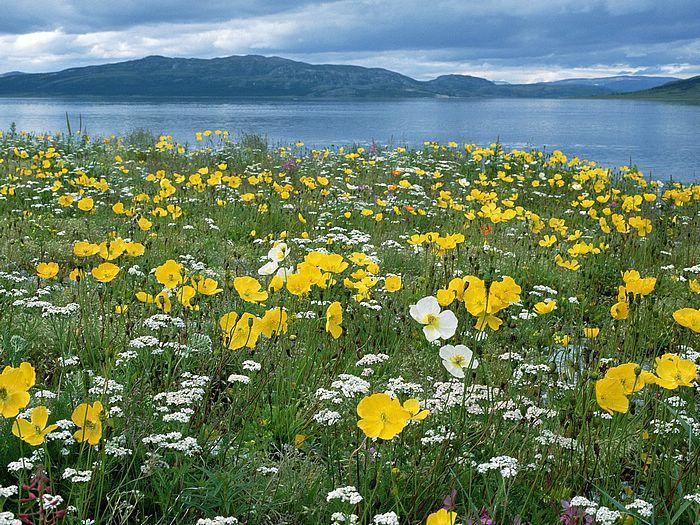 Field of Arctic Poppies Near Nain Labrador Canada.jpg