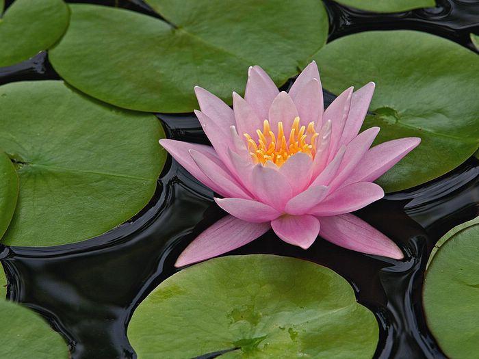 Hybrid Water Lily Louisville Kentucky.jpg
