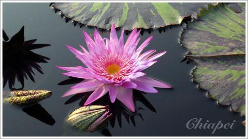 溫室戶外的蓮花池