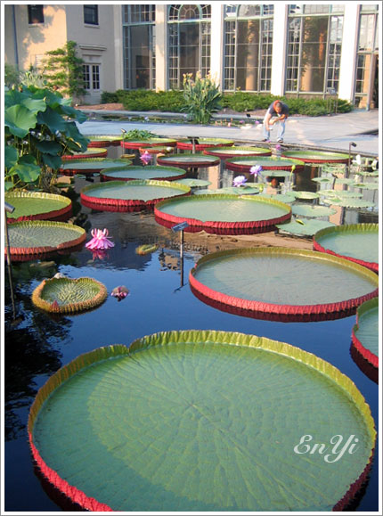 大王蓮 Santa Cruz Water Lily