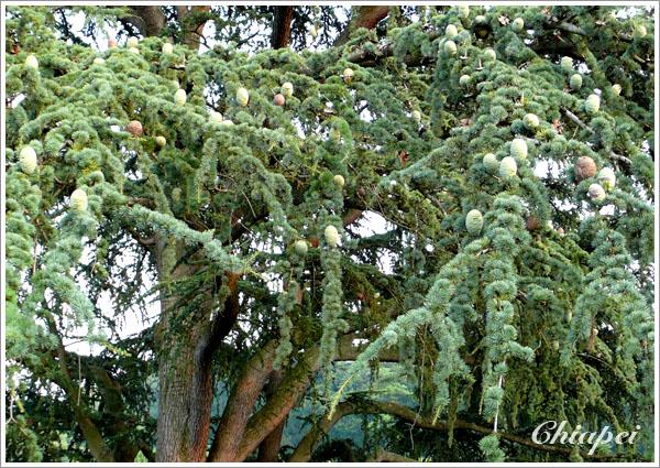 很奇怪的松樹/松果