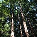 6/25 學校裡的紅木森林真漂亮啊