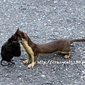 6/26 不知名的神奇小動物,叼著一隻死老鼠