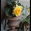 某家店門口的花,太美了,我以為是假的,伸手要摸,店主人馬上說:It's real!