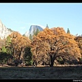 終於有一棵 black oak 樹葉還是金色的...