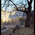 half dome & blacktail deer