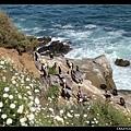美麗的La Jolla海灘,有好多大嘴鳥