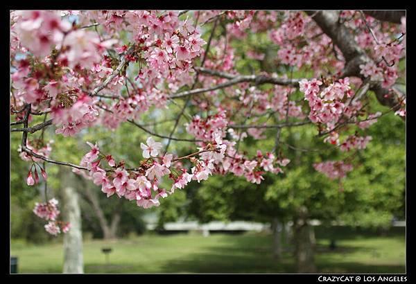 襯著綠蔭的嬌嫩櫻花