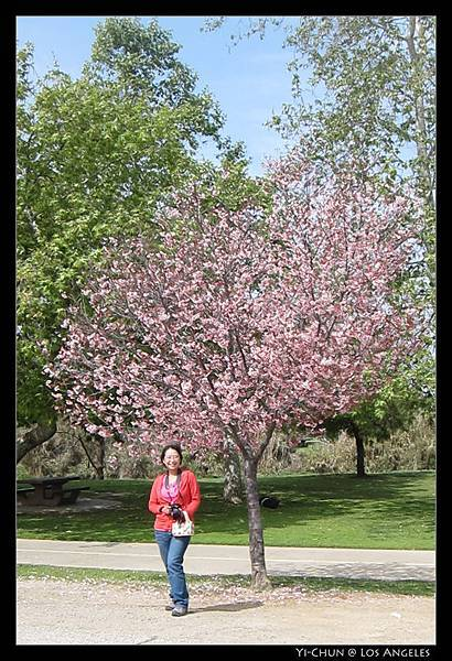 櫻花盛開!
