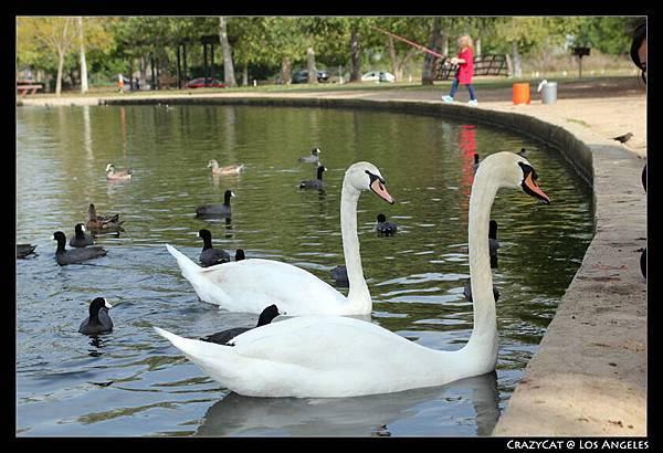 湖裡也有美麗的天鵝