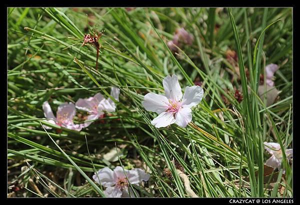 落在草地上的美麗櫻花