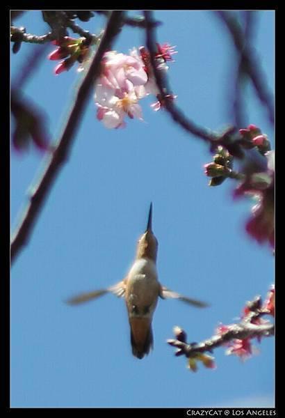 這是另外一隻,會吃一吃然後在空中停一會兒到處看看