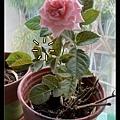 2012/5/1 每年都只開一朵的玫瑰,今年搬來LA竟然結了第2個花苞