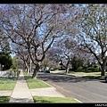 5/18 種滿Jacaranda的街:Colby,不過還沒有盛開...